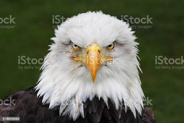 Bald eagle head portrait picture id518959594?b=1&k=6&m=518959594&s=612x612&h=j 1o2szcz58gdd34h4yfwn2xautp nvs576bi ukges=