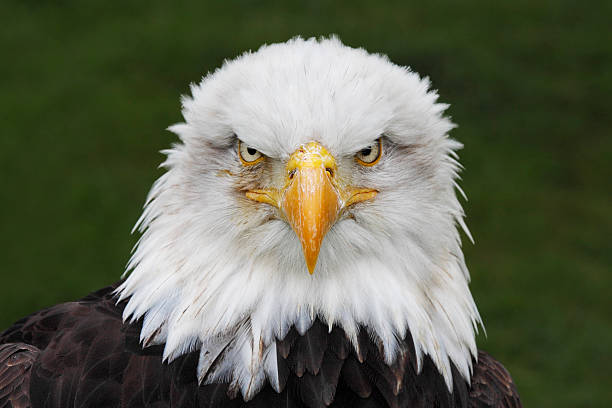 bald eagle (haliaeetus leucocephalus) head portrait (captive) - eagle stock photos and pictures