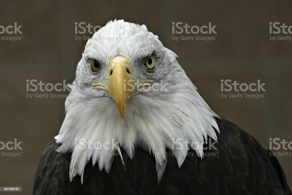 Bald Eagle (Haliaeetus leucocephalus) Head Shot Close-up stock photo