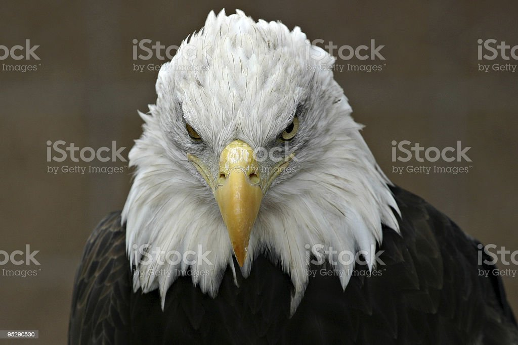 Bald Eagle (Haliaeetus leucocephalus) Head Shot - Looking Straight On stock photo