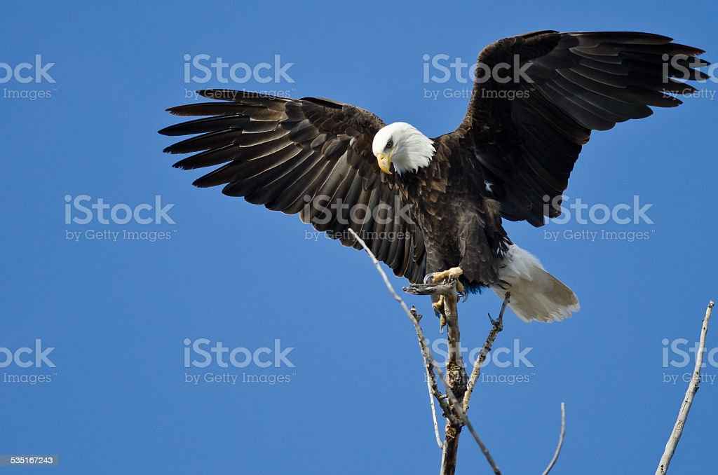 Bald Eagle Hunting From The Tree Top stock photo