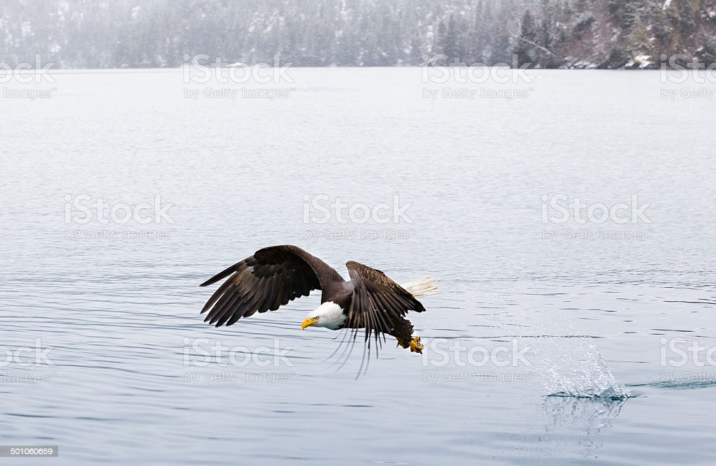 Bald Eagle Hunting royalty-free stock photo