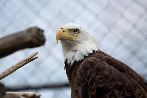 Bald Eagle in a cage stock photo