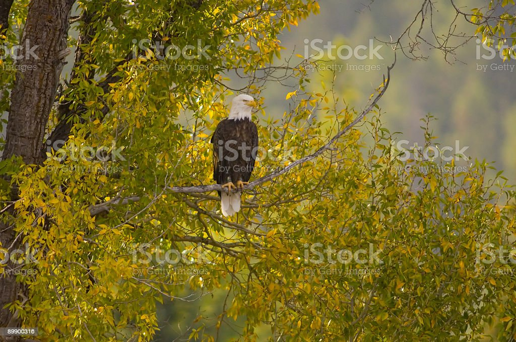 Bald eagle in a tree royalty-free stock photo