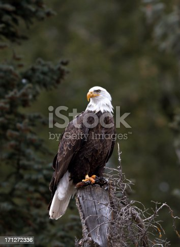 Bald eagle perched on stump against trees in the background.