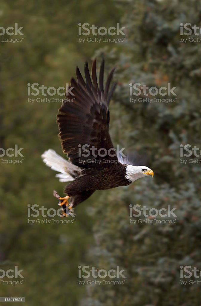 Bald Eagle in Aspen, Colorado stock photo