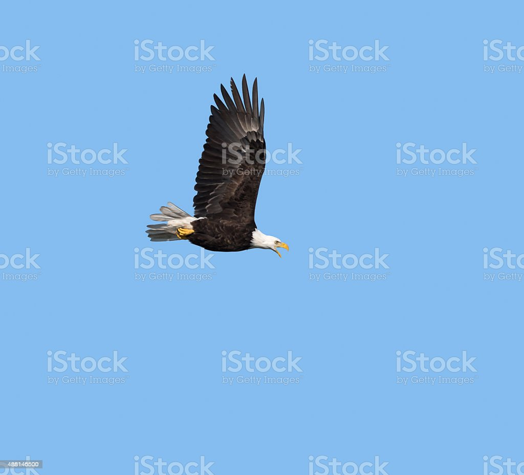 Bald Eagle in Flight against blue sky stock photo