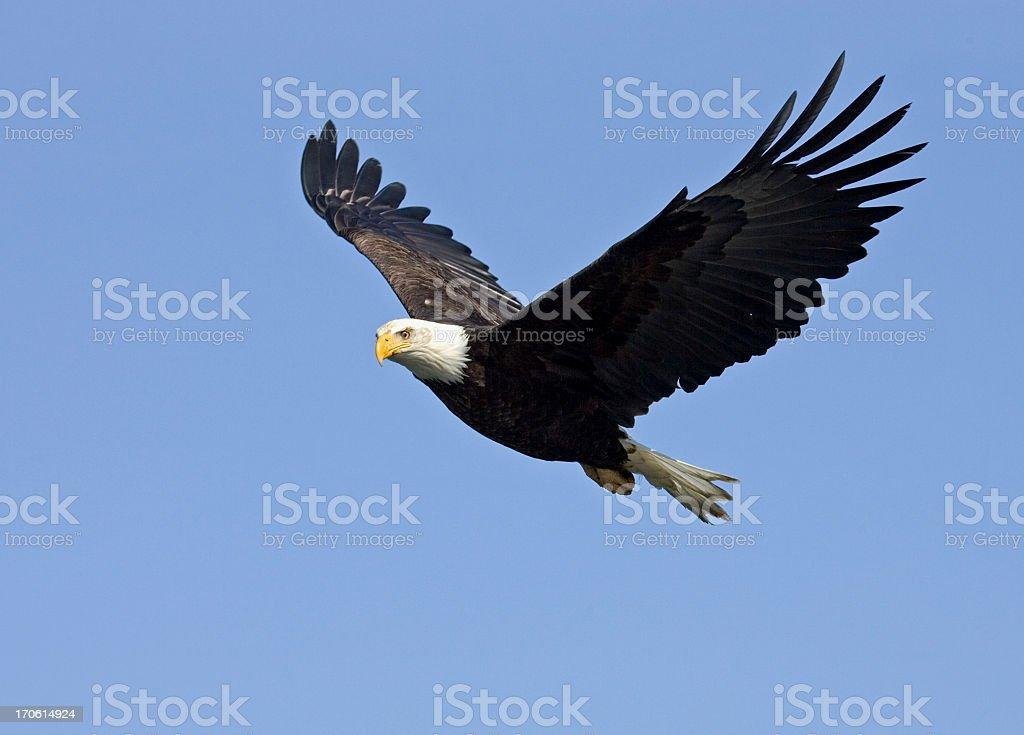 Bald Eagle in Flight, Alaska royalty-free stock photo