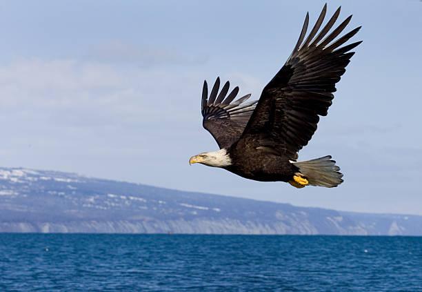Bald Eagle vol, Alaska - Photo