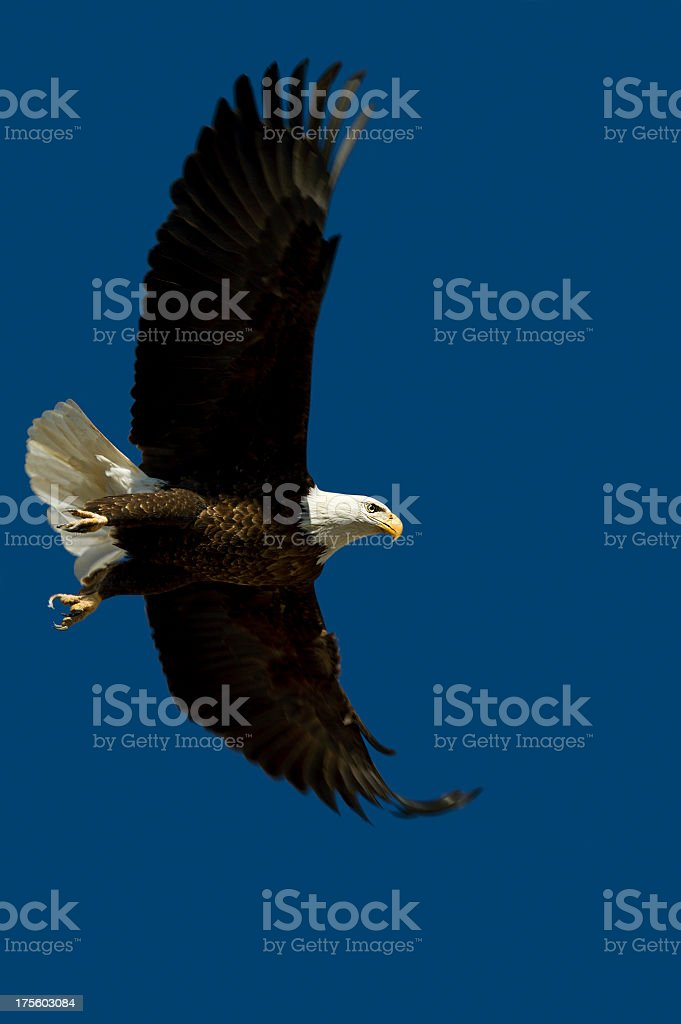 Bald Eagle in Flight - Aspen, Colorado stock photo