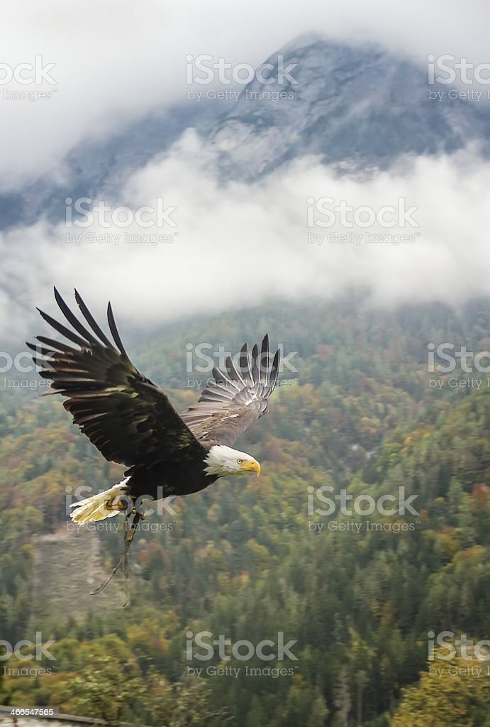 Bald Eagle in flight, Austria stock photo