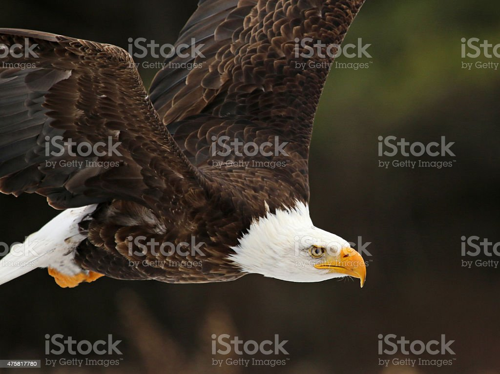 Bald Eagle in Flight Close-Up stock photo