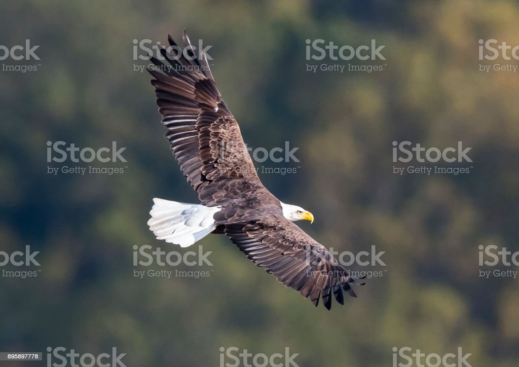 Bald eagle in flight, Haliaeetus leucocephalus stock photo