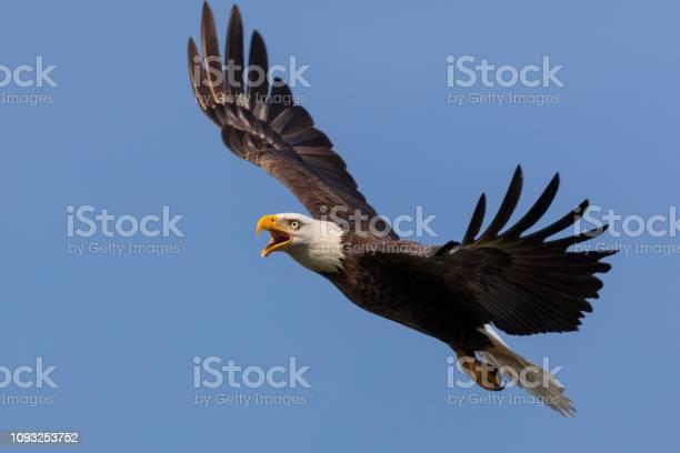 Bald eagle in flight picture id1093253752?b=1&k=6&m=1093253752&s=612x612&h=bf j7dd55kdrmocvymik7ev6 tm mx 8q9tiqutd8gi=
