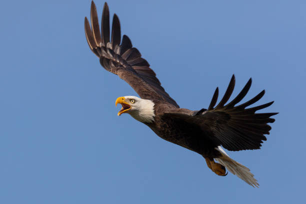 bald eagle in flight - arto di animale arto foto e immagini stock