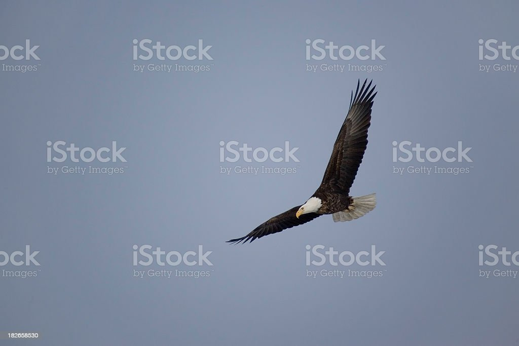 Bald Eagle in Flight royalty-free stock photo