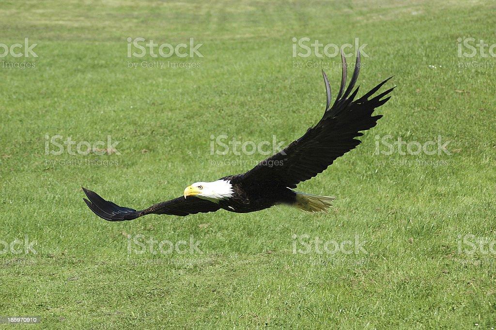 Weißkopfseeadler im Flug stock photo