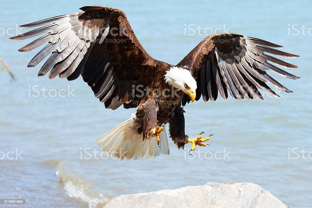 Bald Eagle in flight foto