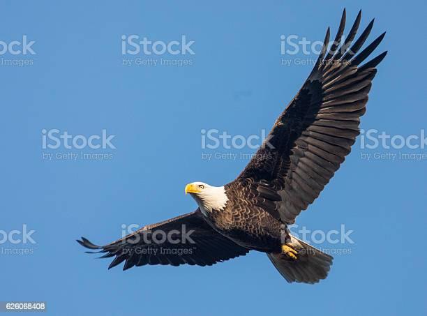Bald eagle in flight picture id626068408?b=1&k=6&m=626068408&s=612x612&h=slpg8dzgau2p r5sxngkfy5ax7mombiswfeiezn7qdw=