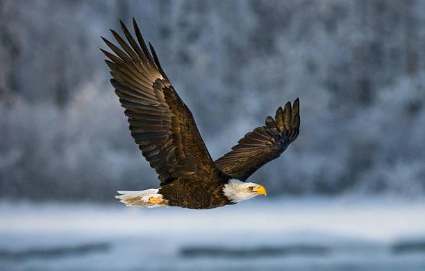 Bald eagle in flight. stock photo