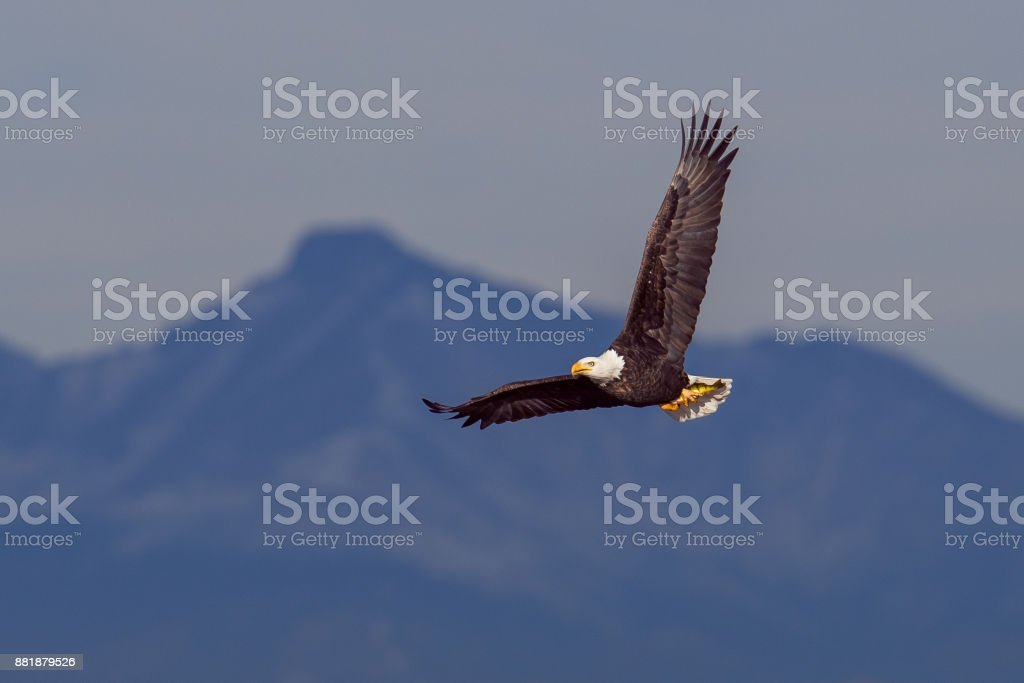 Bald Eagle in Flight zbiór zdjęć royalty-free