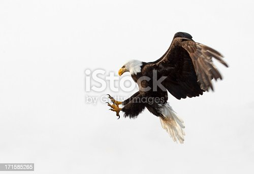 Bald Eagle in flight - With White Background, Alaska.