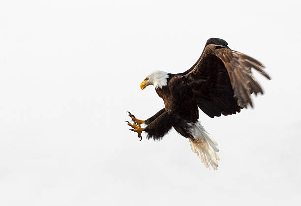 Bald Eagle In Flight - White Background, Alaska Bald Eagle in flight - With White Background, Alaska. claw stock pictures, royalty-free photos & images