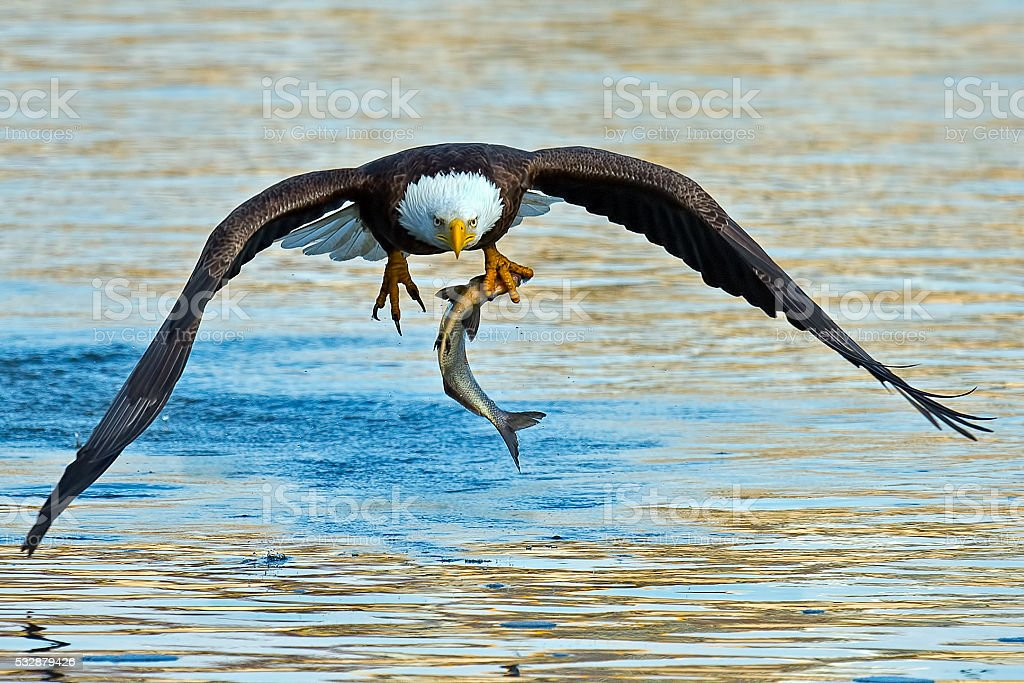 Bald Eagle in Flight with Fish stock photo