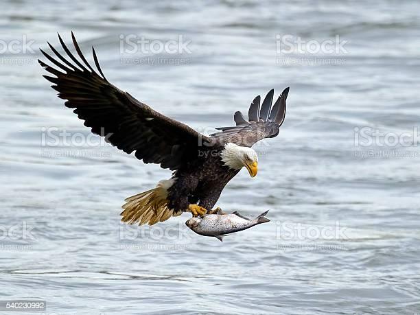 Bald eagle in flight with fish picture id540230992?b=1&k=6&m=540230992&s=612x612&h=rv4 dv2fvgiofyhgm9wldd14zvyqxedmmu1uea46yss=