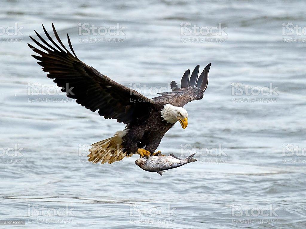 Águila de cabeza blanca en vuelo con pescado - foto de stock