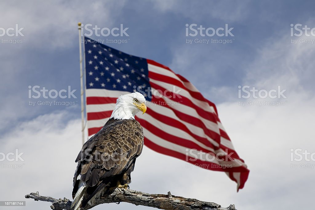 Bald Eagle in front of an American Flag. stock photo
