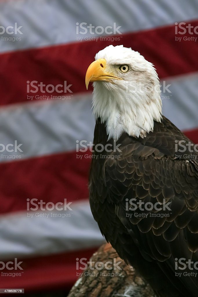 Bald Eagle in Front of an American Flag stock photo