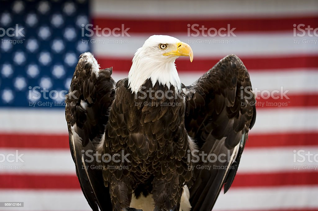 Bald Eagle in front of United States Flag stock photo