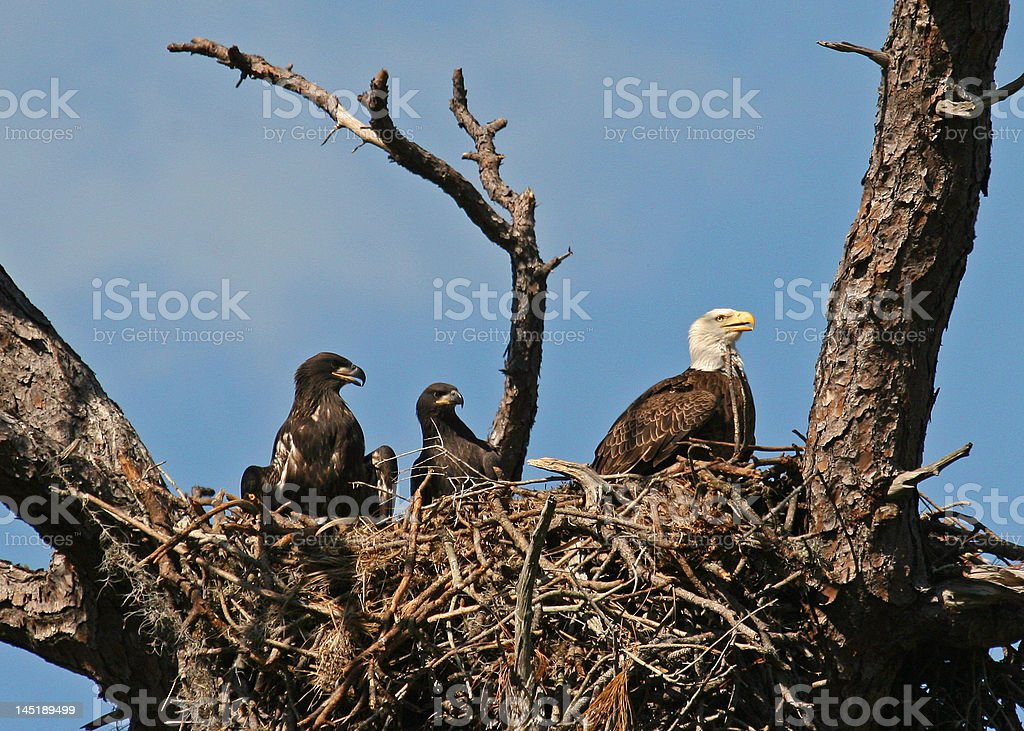 Bald eagle in nest with 2 eaglets stock photo