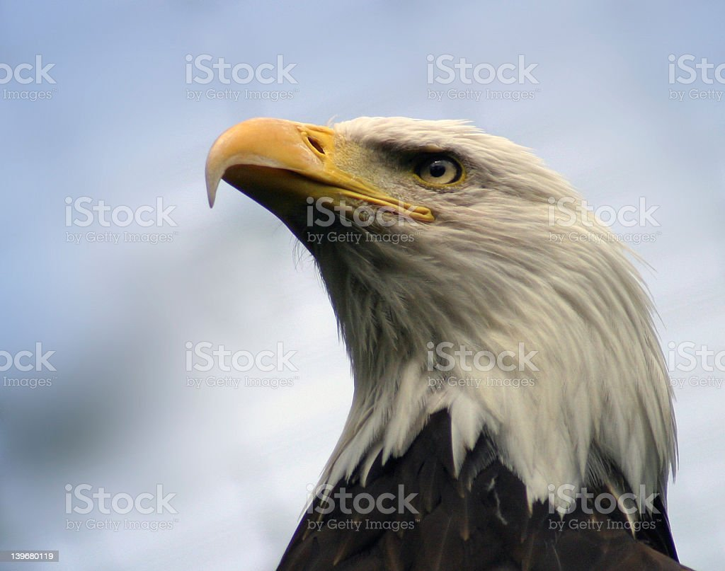 Bald Eagle in Profile royalty-free stock photo
