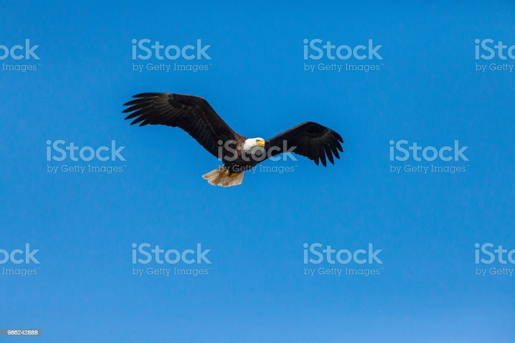 Bald Eagle in the blue sky stock photo