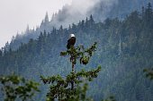 Bald eagle surveys his domain in the rainforests of northern BC Canada