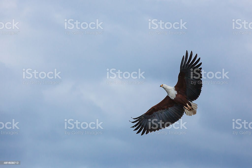 Bald eagle in the sky, eagle, flying, blue, sky, nature stock photo