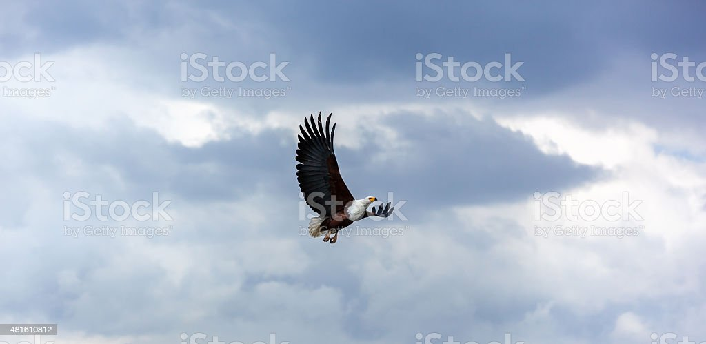 Bald Eagle In The Sky Flying Blue Nature Royalty