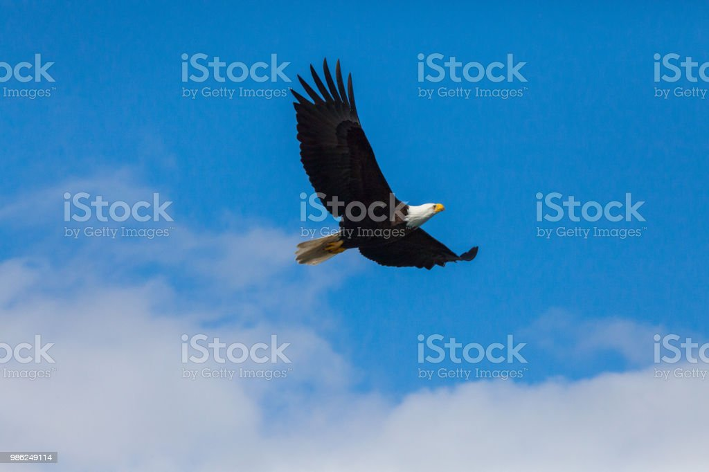 Bald Eagle in the sky stock photo