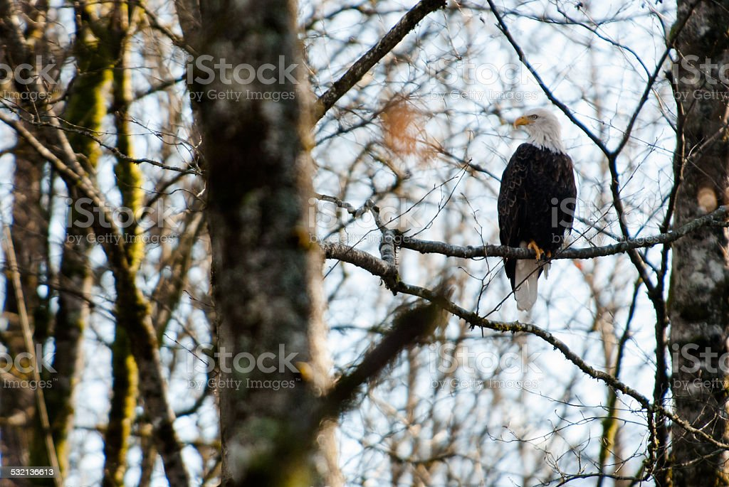 Bald Eagle in tree stock photo