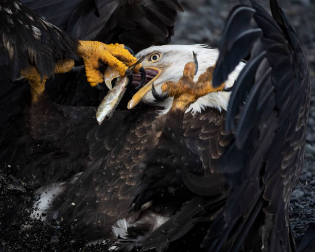 Bald EAgle is having his fish stolen right out of his mouth stock photo