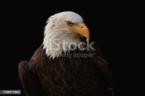 Bald eagle (Haliaeetus leucocephalus) isolated on black background. Close-up of a majestic bird of prey with brown plumage and white head, symbol of the usa.