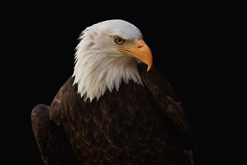 A Bald Eagle (Haliaeetus leucocephalus) taking off.