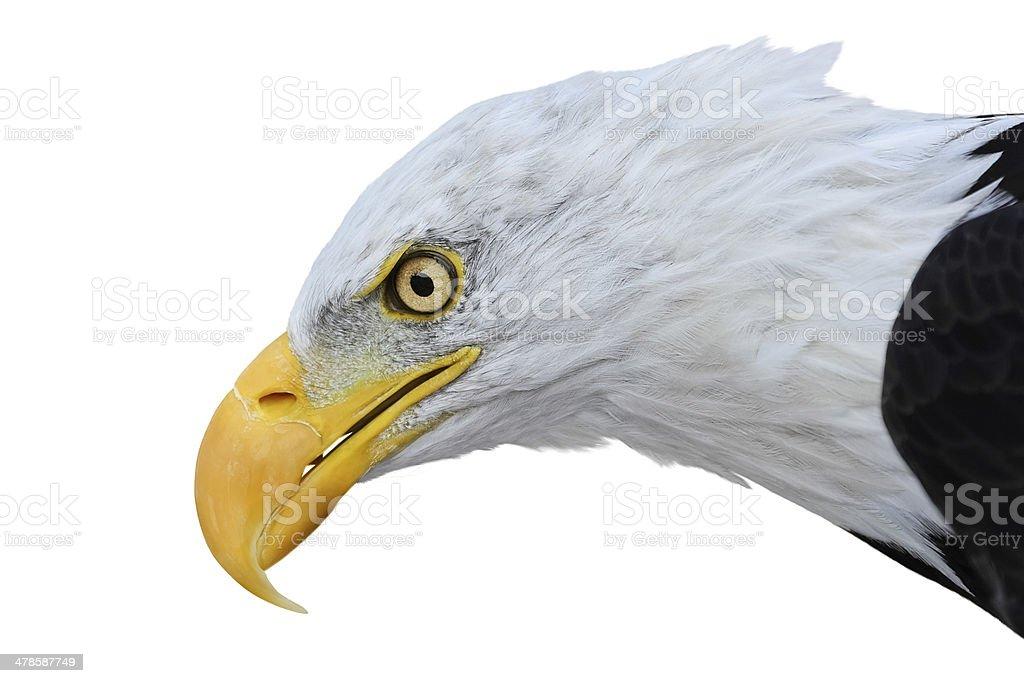 Bald eagle isolated on white background stock photo