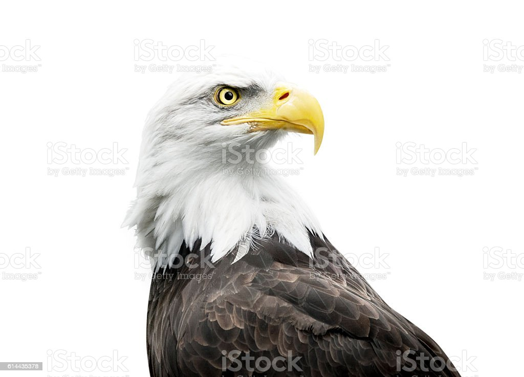 bald eagle isolated on white - foto stock