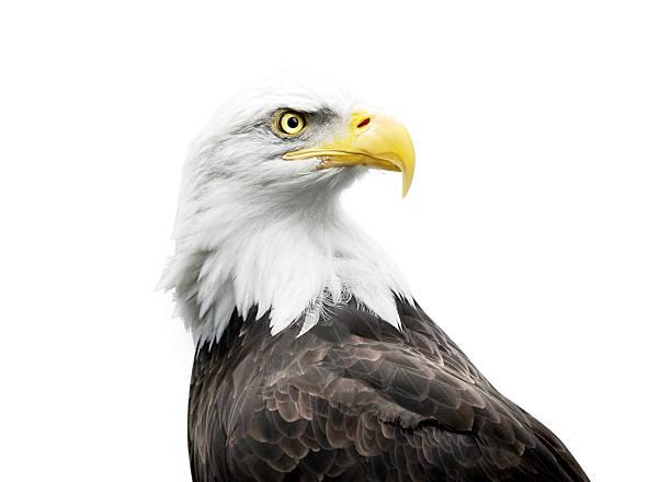 bald eagle isolated on white - Photo