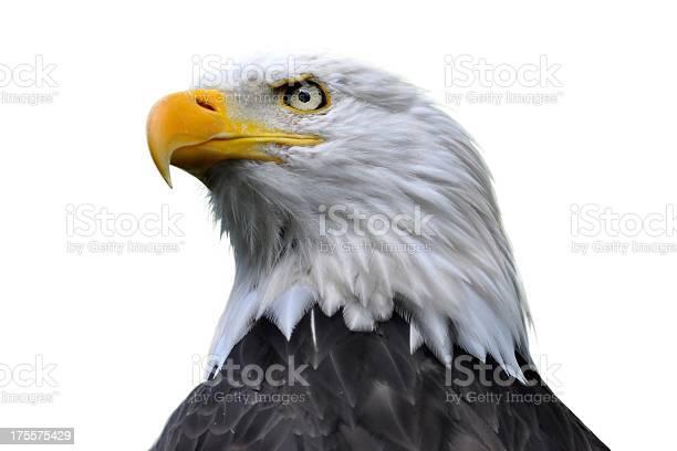 Bald eagle isolated picture id175575429?b=1&k=6&m=175575429&s=612x612&h=6jysdl7g5u4dlckexo6qlvfbxhj0nbtx snq54ud3x0=