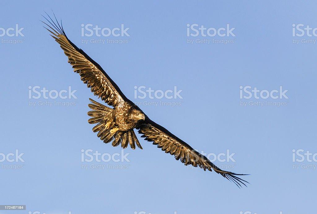Bald Eagle Juvenile soaring in the sky