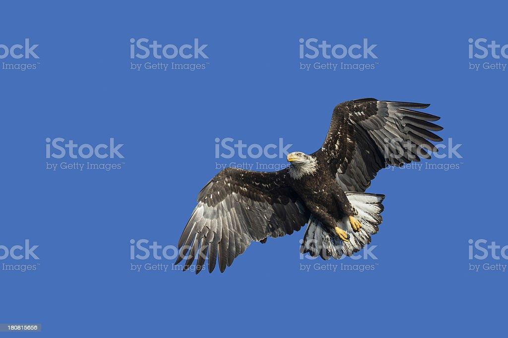 \'Bald Eagle, Juvenile Plumage Haliaeetus leucocephalus Alaska\'